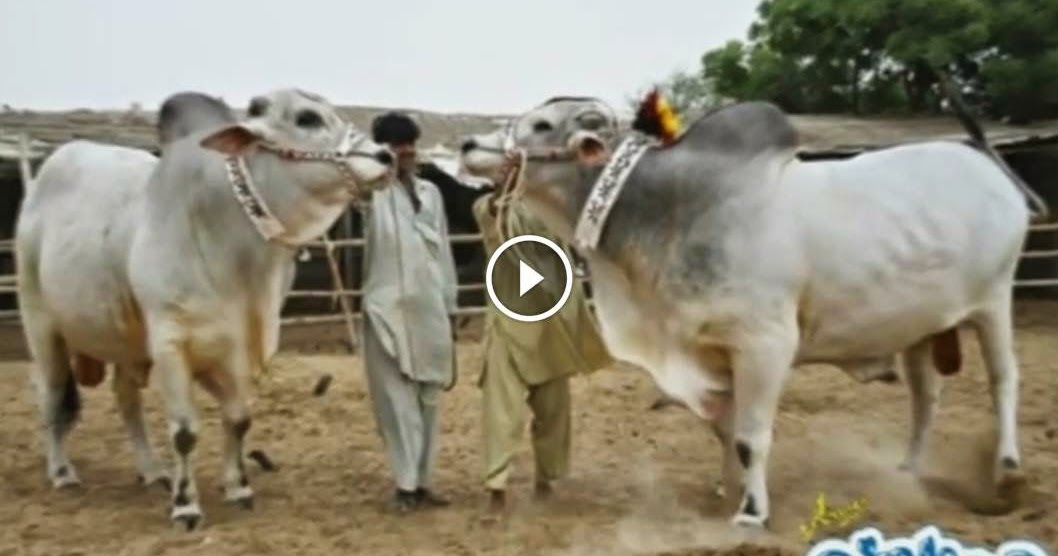 Dilpasand Cattle Farm 2014 Slide Show - Cow Mandi 2016 ...