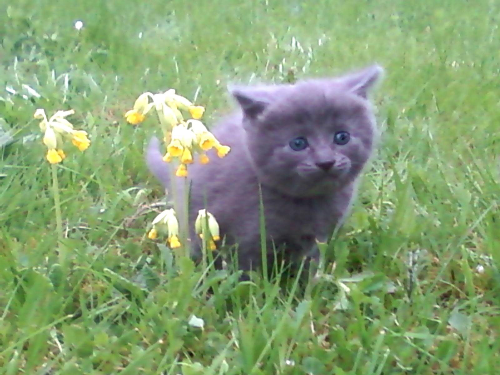 chat, chatte, grise, bébé, chaton, gris, migon, cute, cat, grey, kitten