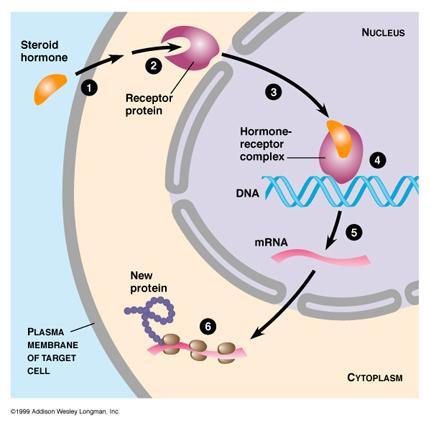 uroven-sekssteroid-svyazivayushego-globulina