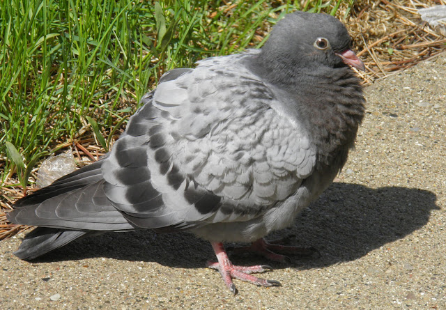 pigeon rock dove