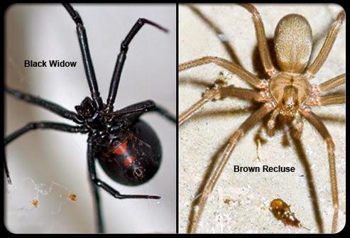 Black Widow Spider Bite  Symptoms Treatment Prevention