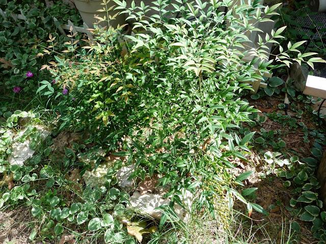 mystery shrub 1