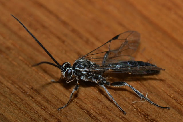 black-and-white ichneunon wasp