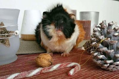Meerschweinchen verstehen: Meerschweinchen Muck in der Weihnachtszeit