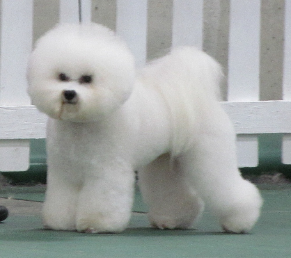japanese chin x bichon DomesticSale: free bichon frise poodle mix in ...