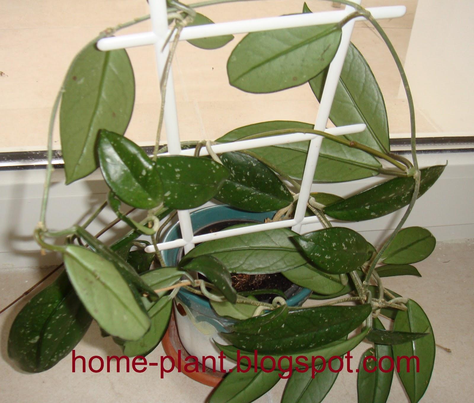 Комнатный цветок хойя уход в домашних условиях фото