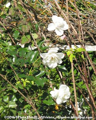 ice rose
