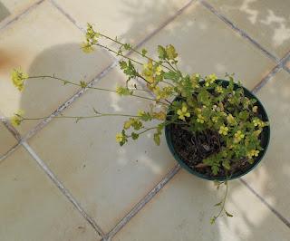 floración de la mostaza blanca