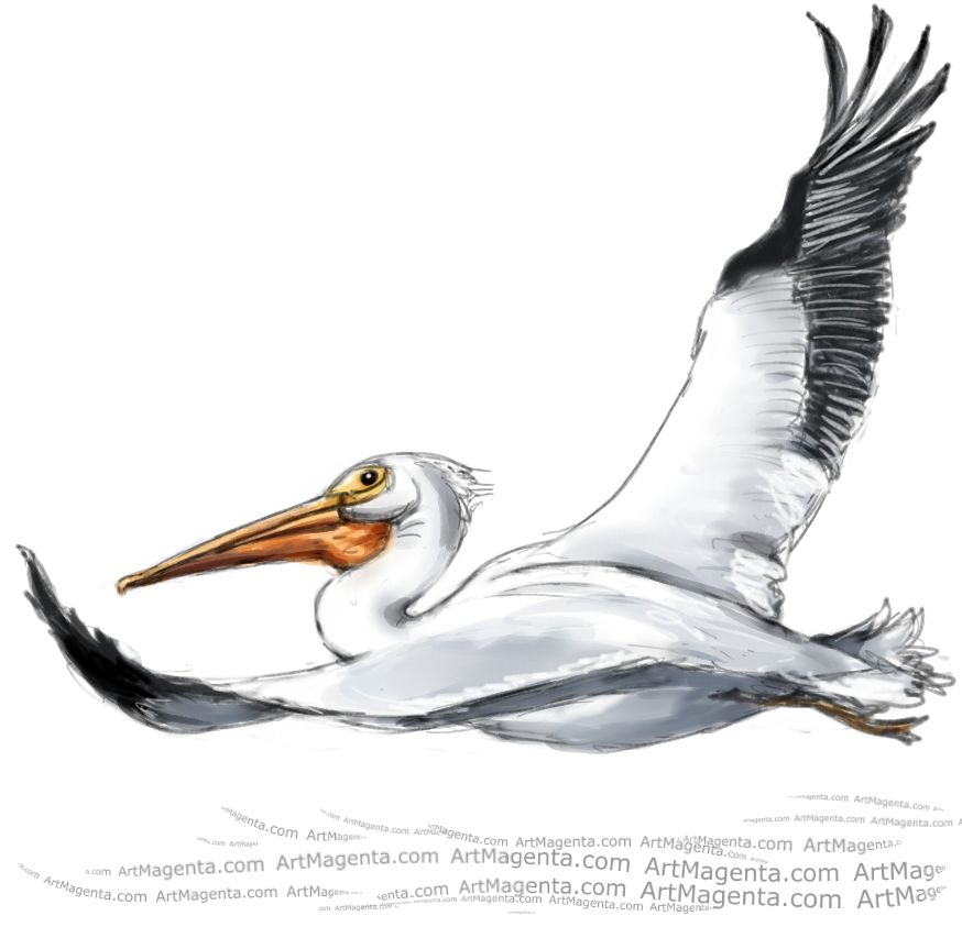 American white pelican sketch painting. Bird art drawing by illustrator Artmagenta