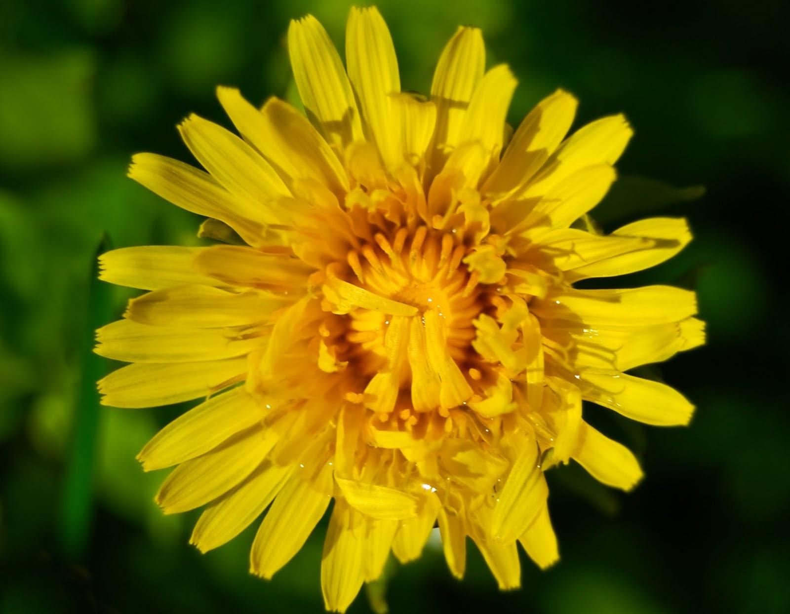Dandelion ~ Flowers World