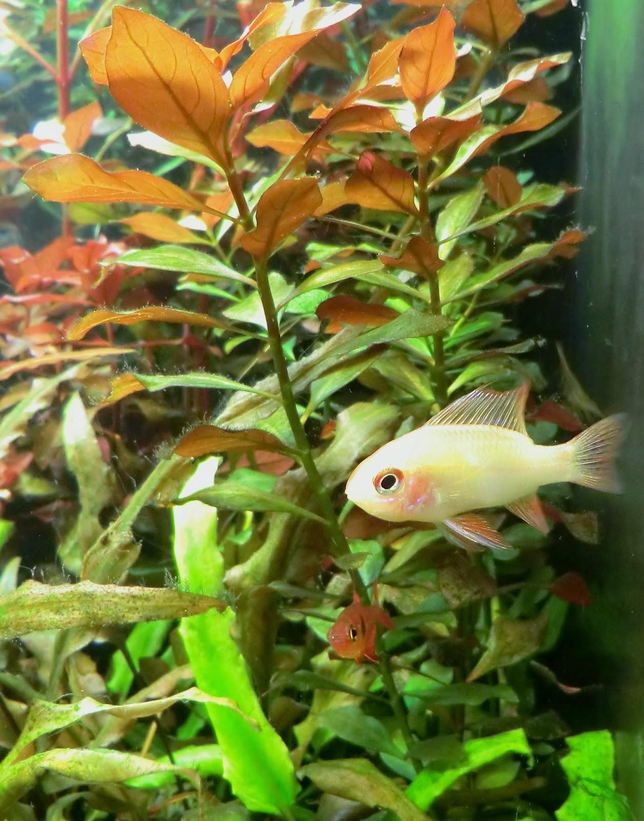 Mikrogeophagus, ramirezi, Ram, Chiclid, care, tank, size, companions,