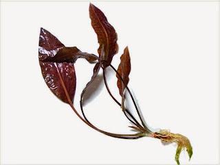 gambar-Cryptocoryne Blassii-tanaman-rosette-aquascape