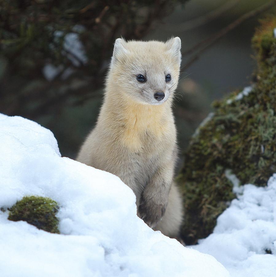 翻訳したらこうなった Sub: 北海道に生息する希少動物の海外反応