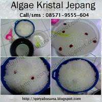Algae Kristal Jepang