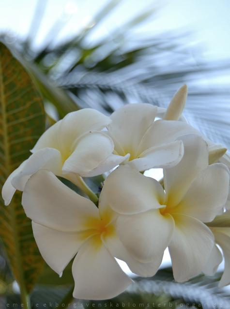 Thailand, blommor thailand, offline, lukta på blommorna, flowers thailand, smell the flowers