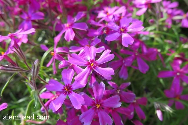 флокс шиловидный, Phlox subulata, розовые цветы, аленин сад, сорта флокса, шиловидного
