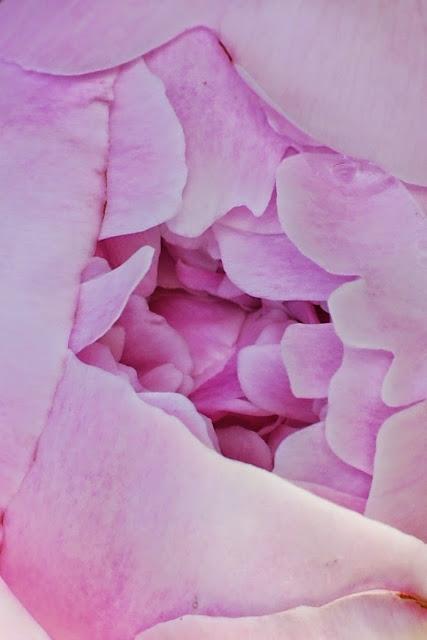 Vaaleanpunainen kiinanpioni Sarah Bernhard