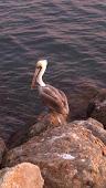 Contemplative pelican, Marina del Rey
