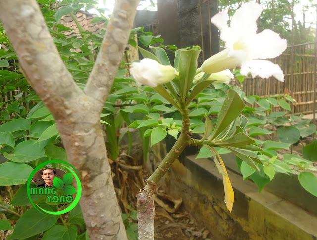 OTO : Cabang bunga Kamboja Jepang sudah berbunga warna putih...