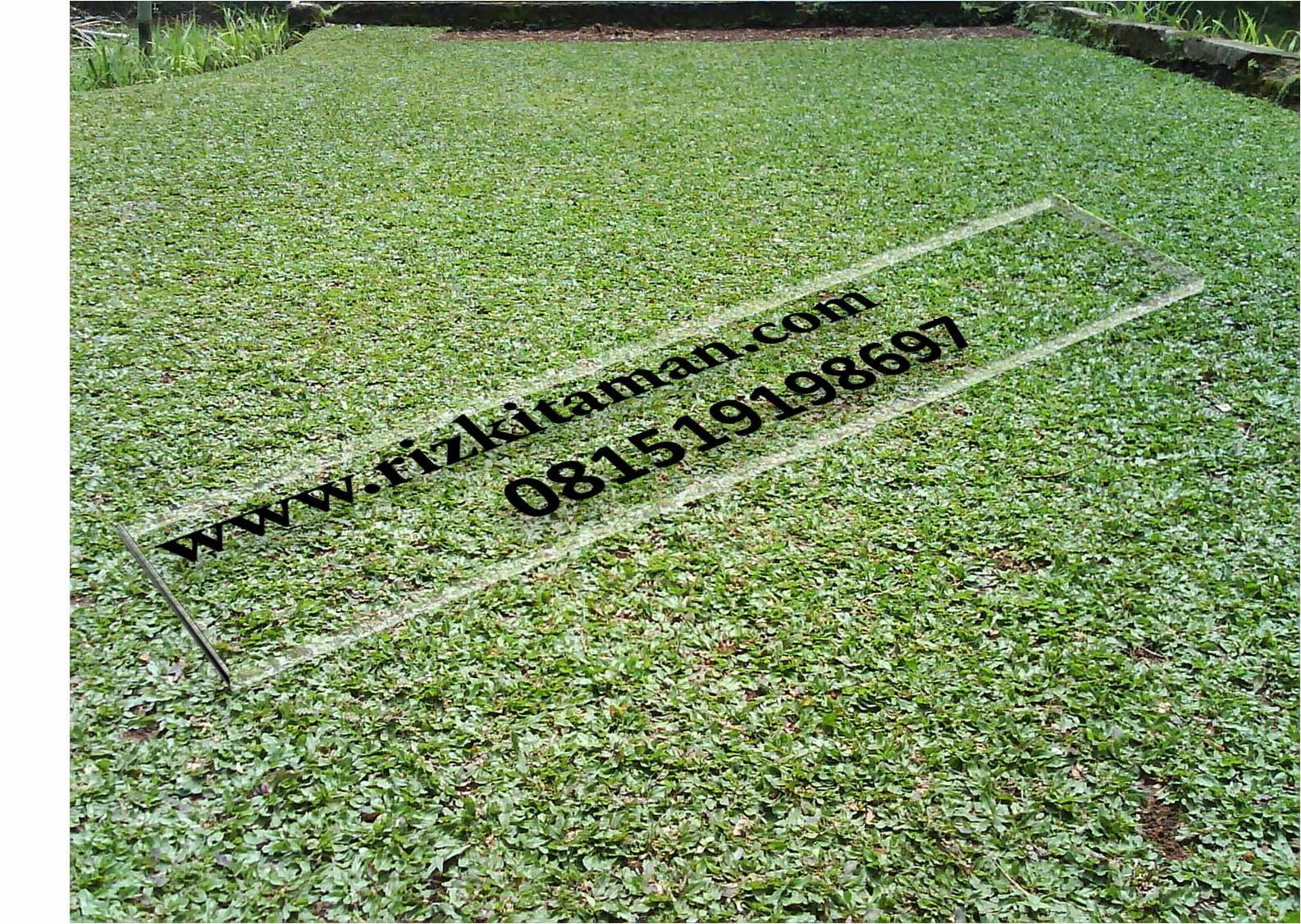 Jual rumput gajahmini | jasa tanam rumput dan pembuatan taman minimalis