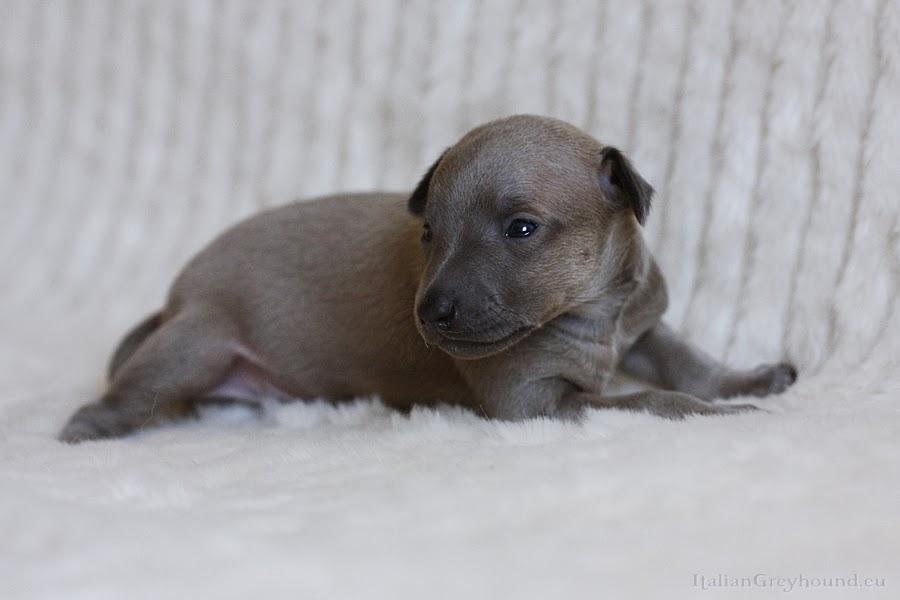 Italian Greyhound Puppies Piccolo Levriero Italiano
