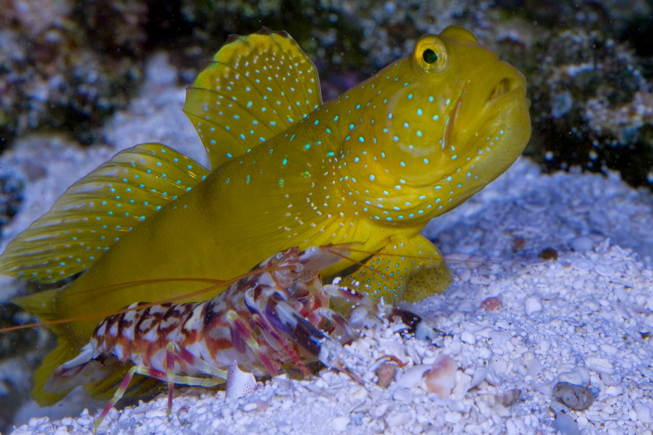 goby fish and shrimp symbiotic relationship examples