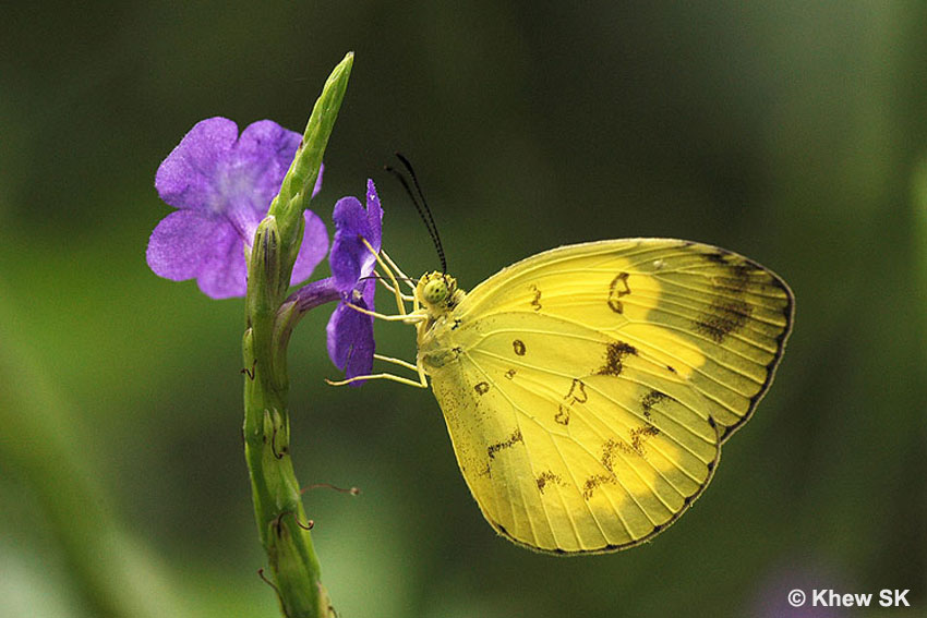 Eurema Spp Are Often Attracted To The Purple Flowers Of T Indica Even In Nature Areas Whilst Urban Erflies Like Catopsilia
