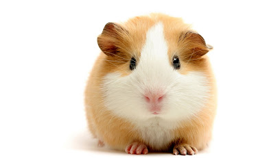 #10 Guinea Pigs Wallpaper