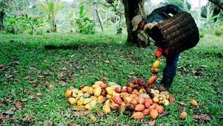 recolectando cacao