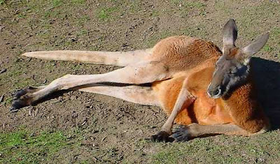 Australian Desert Animals Pictures