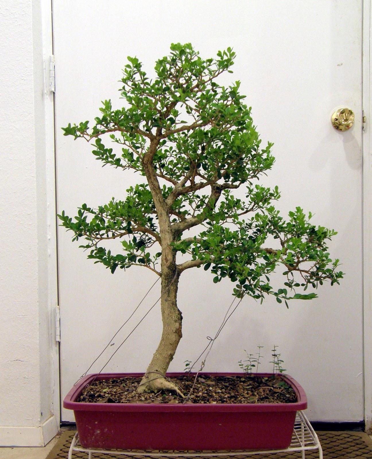 Heart Of Texas Bonsai Japanese Boxwood 3 The Cemetary Boxwood