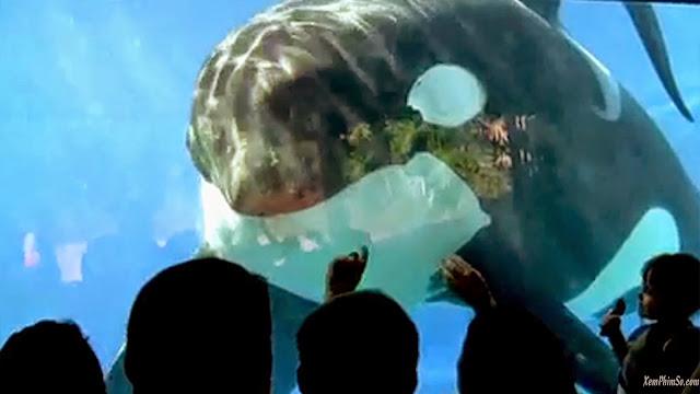 Cá Mập Đen heyphim mov blackfish 130807