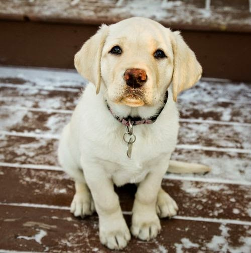 Cute Beautiful Lab Puppy