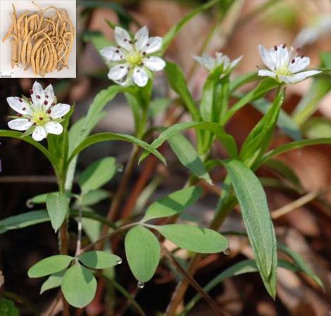 Pseudostellaria heterophylla (Miq.) Pax ex Pax et Hoffm. (Fam. Caryophyllaceae)