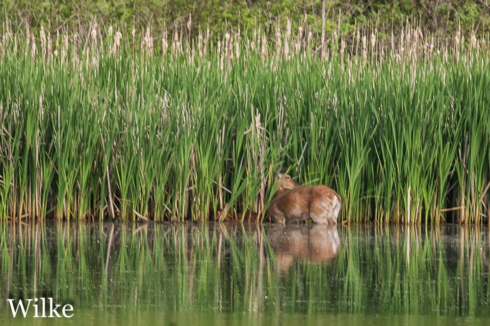 Deer and fawn take a dip