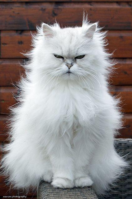 Top 10 Cat Breeds for Kids