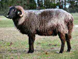 ovino, ovinocultura, pele, ovelha, karakul