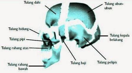 Macam-Macam Tulang Manusia