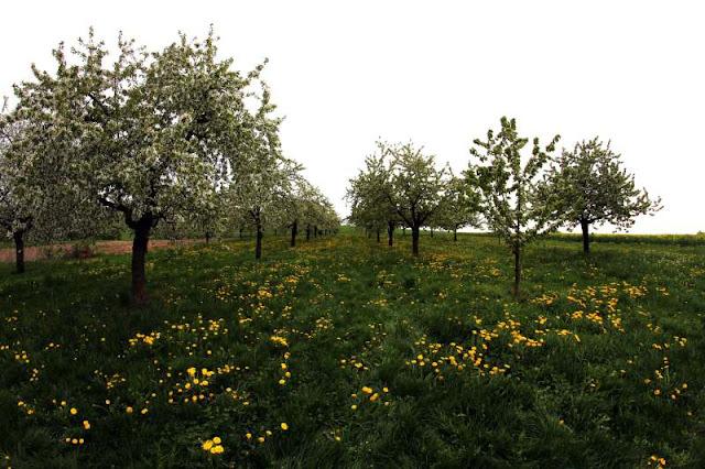 Cherry tree garden