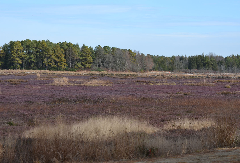 Woods Walks And Wildlife A Pine Barrens Bog