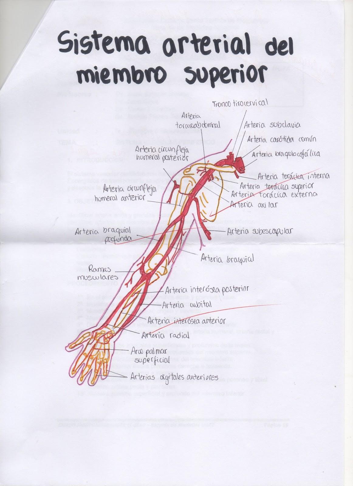 Asombroso Anatomía Arterial De Las Extremidades Superiores ...