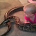 Jamie Guarino, filmed his 14 month old daughter playing with their  massive python