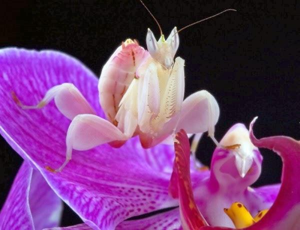 Mentadak Orkid