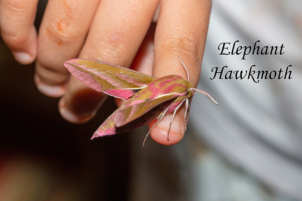 Bo holding an Elephant Hawkmoth