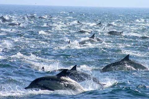 Fenomena Migrasi Ribuan Lumba-lumba