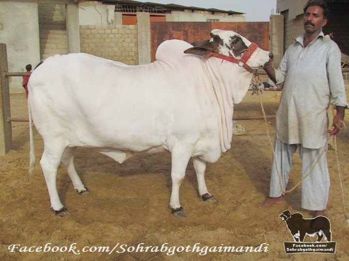 Fine Cattle Farm Cow Bachiya Bijli for sale pics and videos for 2014 janwar