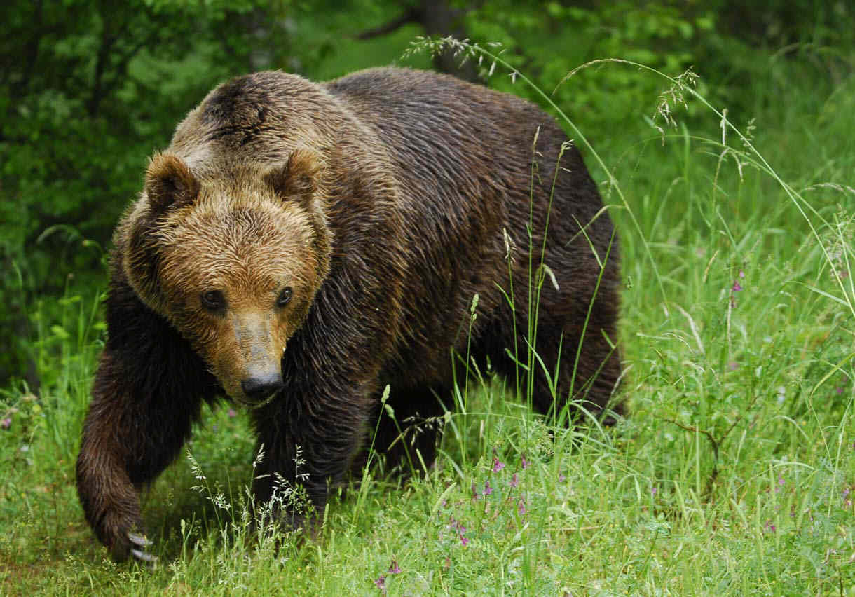 Brown Bear Species South of Canada ~ planetanimalzone