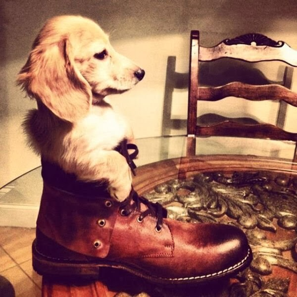 Cute dogs - part 11 (50 pics), little puppy sits in a shoe