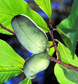 Pawpaw tree fruit