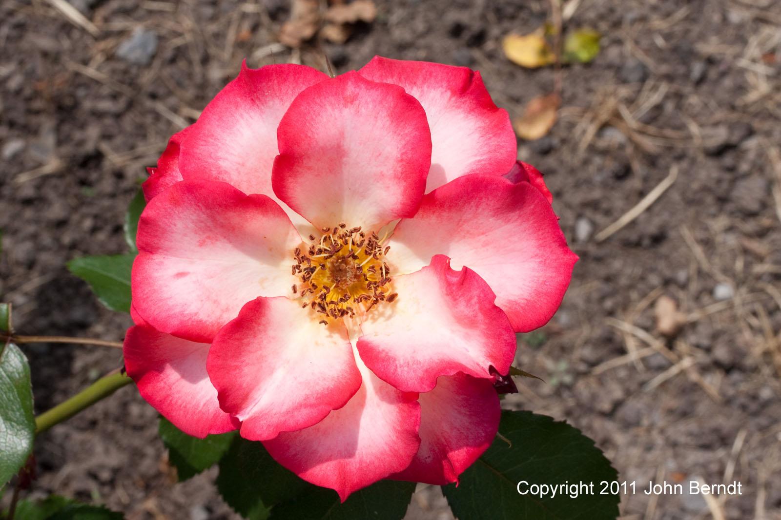 maplewood rose garden pictures. Black Bedroom Furniture Sets. Home Design Ideas